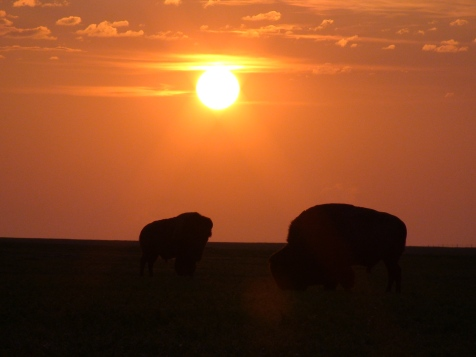 Buffalo Sunrise