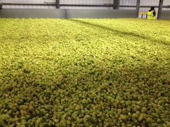 Hops being kiln dried