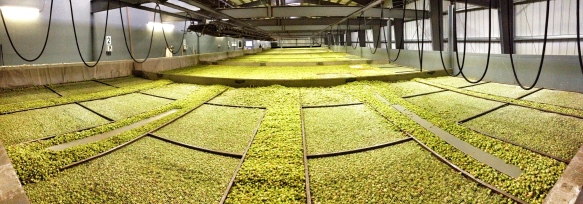 "28"" deep of hops being kiln dried."