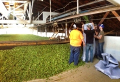 """A local brewery buying """"fresh hops"""" before they make it to the kiln to brew a seasonal beer with"""