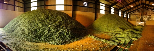 Kiln dried hops before being compressed into bales.