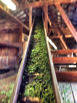 Inside a portion of a hop picker