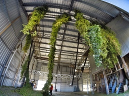 Hop bines arriving from the fields and entering the picker